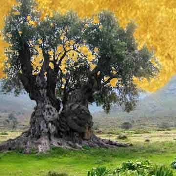 Olive tree, by Anat Vaughan-Lee
